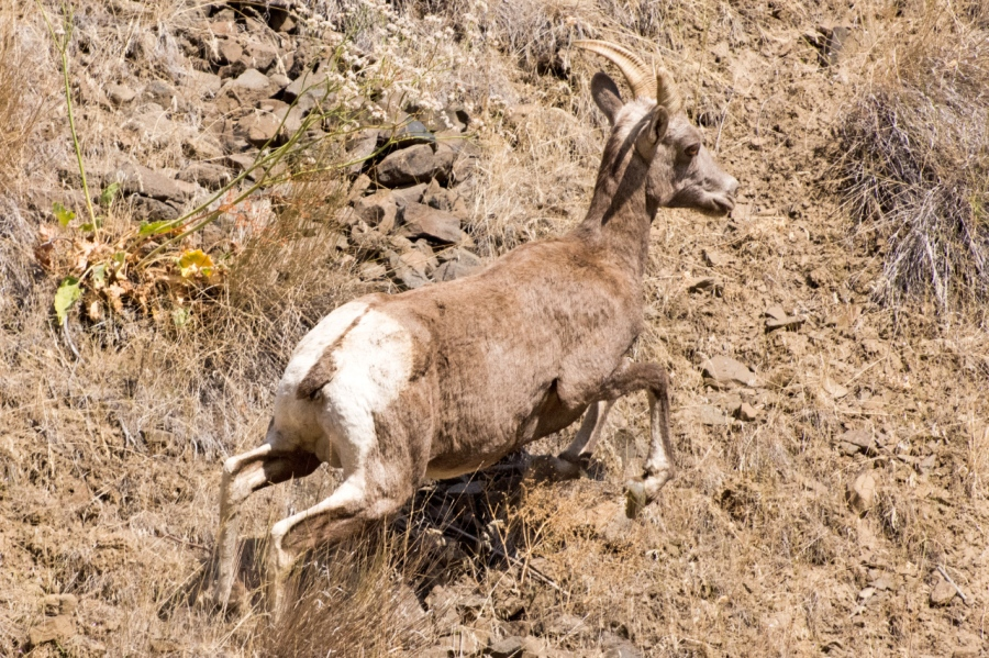 Rocky Mountain Bighorn Sheep on the run