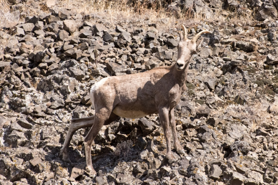 Rocky Mountain Bighorn Sheep safe and sound