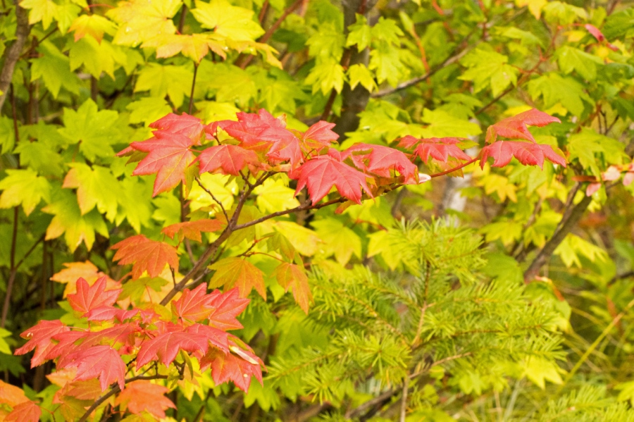 Vine Maples turning color, a sure sign of autumn