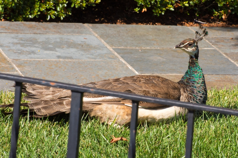 Peahen sunning in the front yard