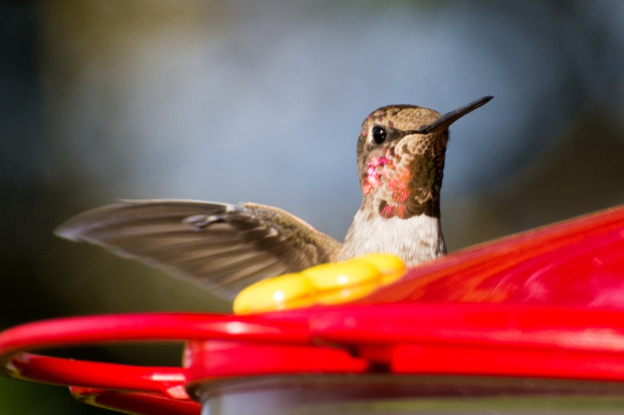 Hummingbirds (an Anna?) also have iridescent neck feathers
