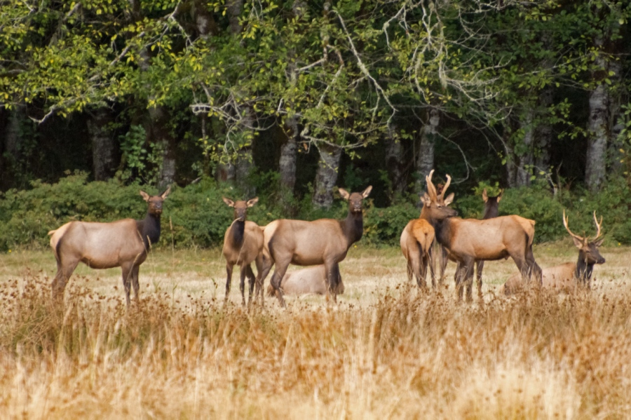 A small herd of Roosevelt Elk near Jewell