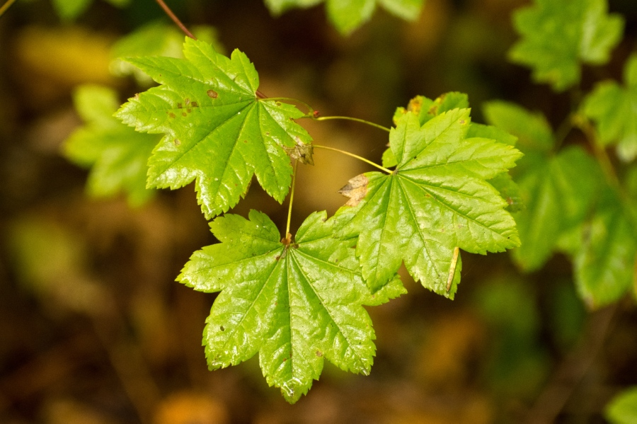 Vine Maple leaves just about ready to turn