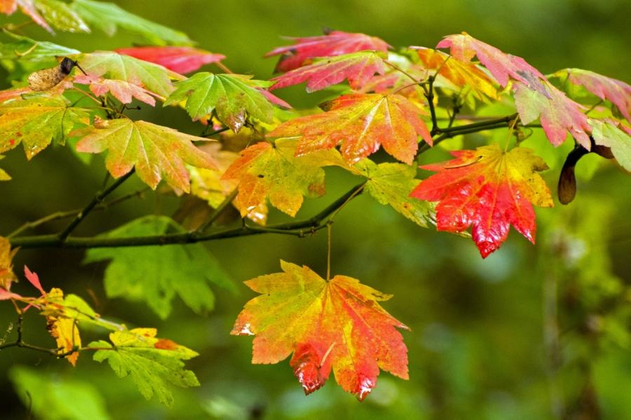Vine Maple Leaves