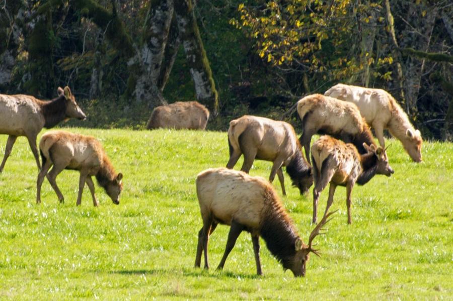 Medium-size Roosevelt Bull Elk