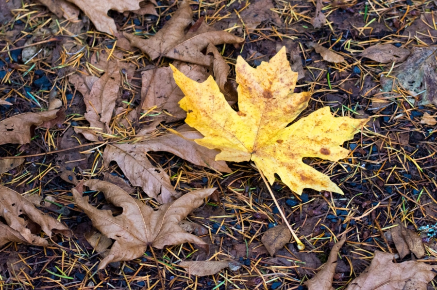 Big-leaf Maple leaves