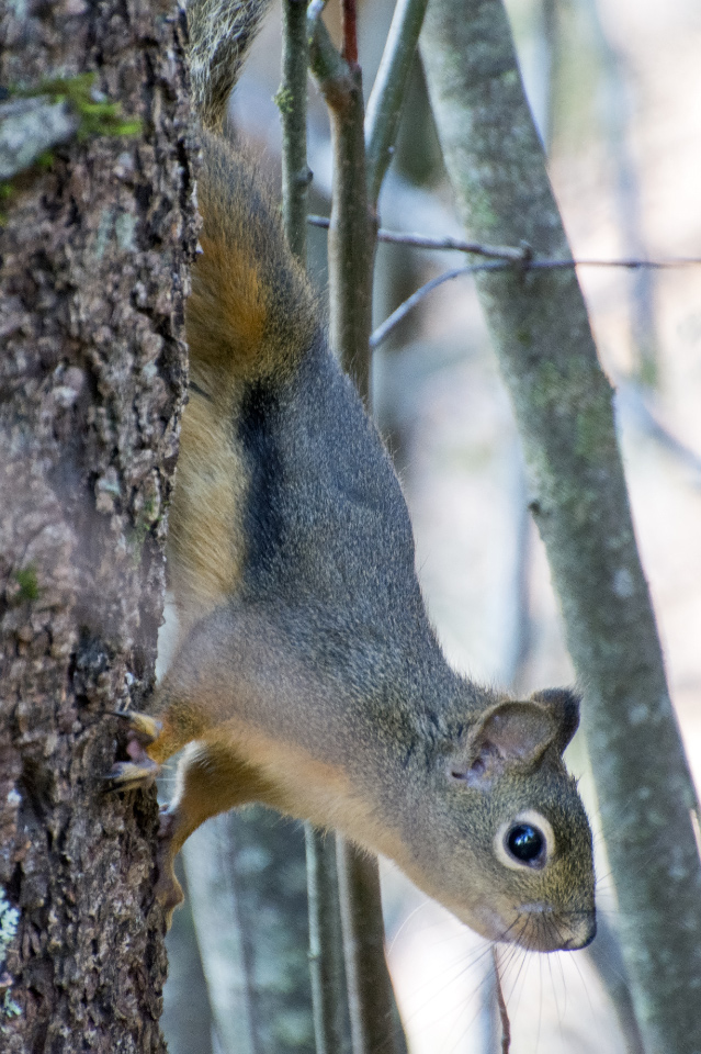 """Pine Squirrel """"hiding"""" from me"""