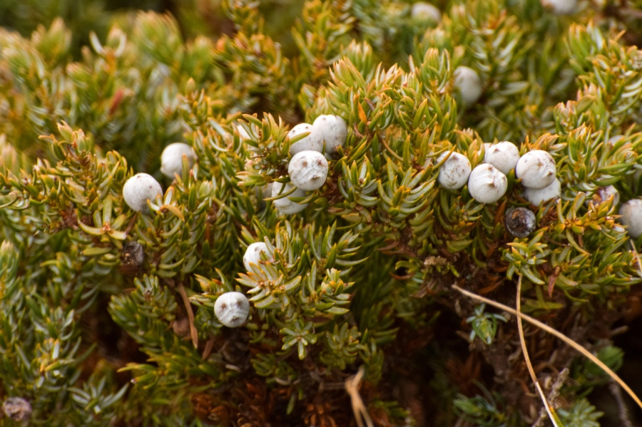 Juniper Berries (they look like little faces)