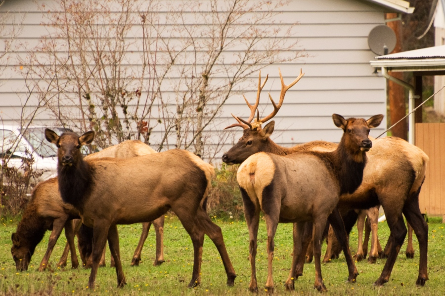 Roosevelt Elk feeding near a farmhouse