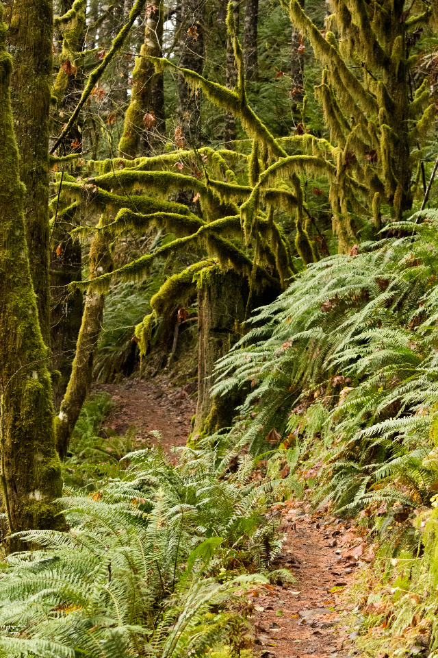 A Long Hike through the Rain Forest to the Crest of the Oregon Coastal Mountains