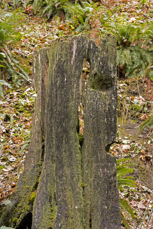 A century-old stump with two springboard slots