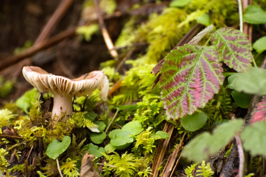 Mushroom gills and autumn-colored Creeping Raspberry leave