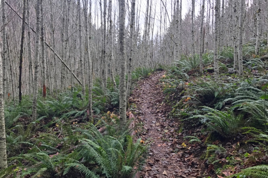 Trail leading through Sword Ferns and leafless Adlers