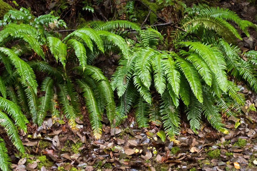 Sword Ferns