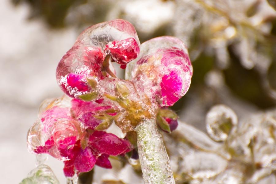 Geranium enclosed in ice