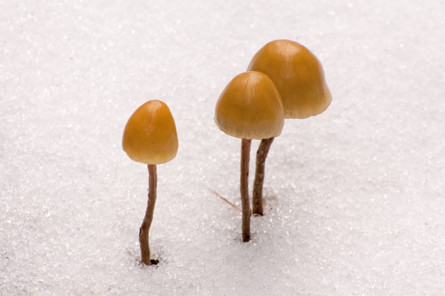 Mushrooms popping out of the snow