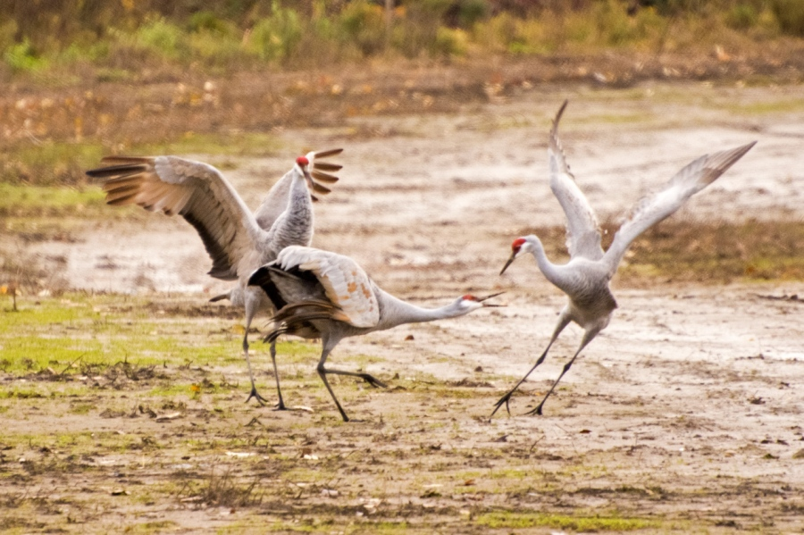 Sandhill Cranes having a spat