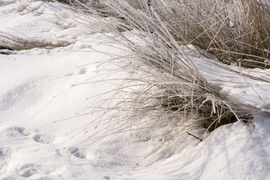 Mule Deer tracks in the powdery snow