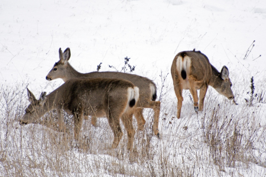 Mule Deer enjoying a tasty treat