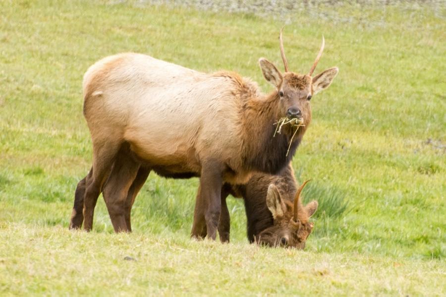 Elk Physiques