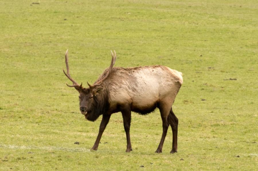 Nice sized Bull Elk