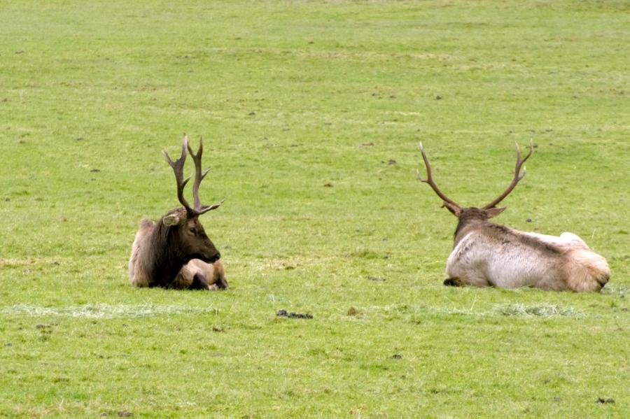 Elk bruisers
