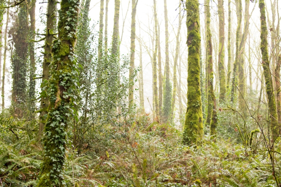 Second-growth forest along the Marquam Trail