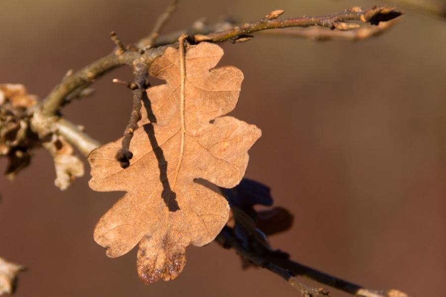 An Oak leaf hanging on