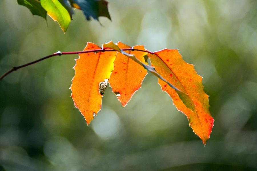 Oregon Grape leaves