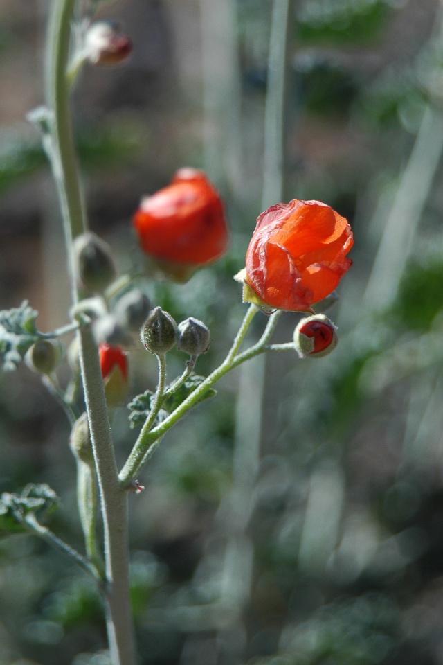 Desert Mallow (Desert Rose?)