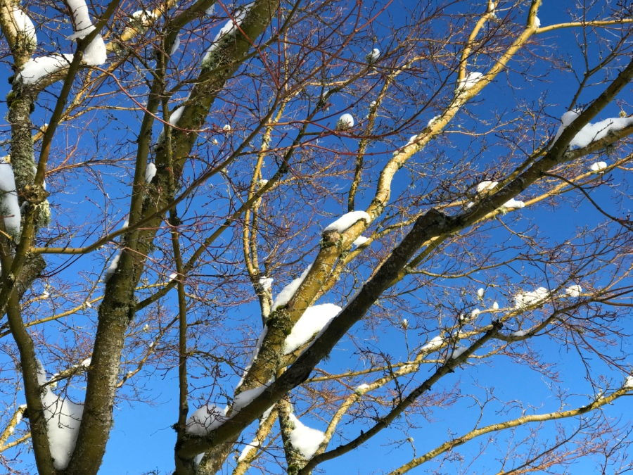 Blue skies and fresh snow on a Maple tree - - - always a great combination