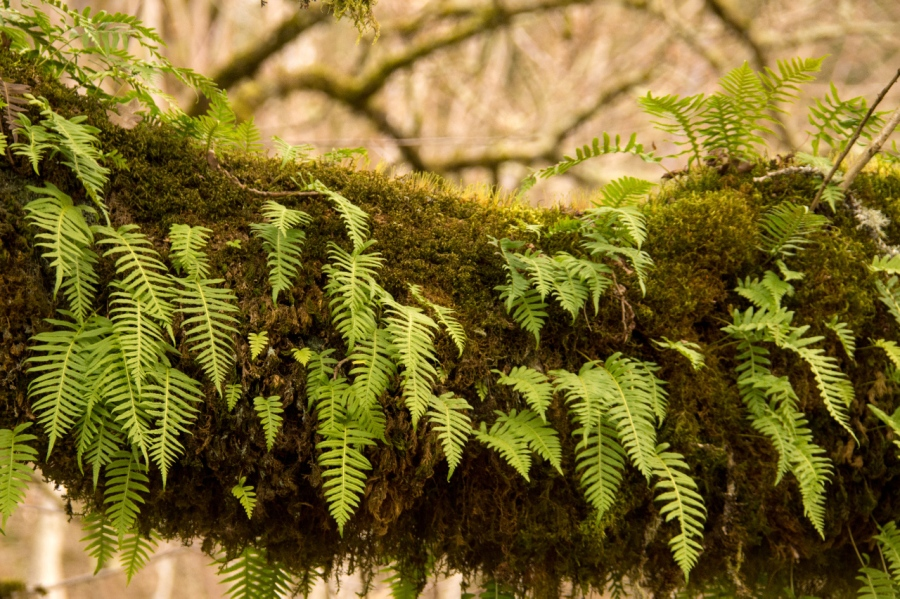 Licorice Ferns growing on a large branch of a White Oak