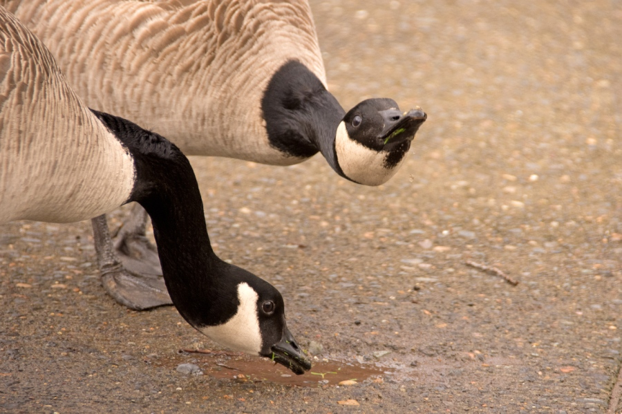Canada Geese enjoying a drink of water