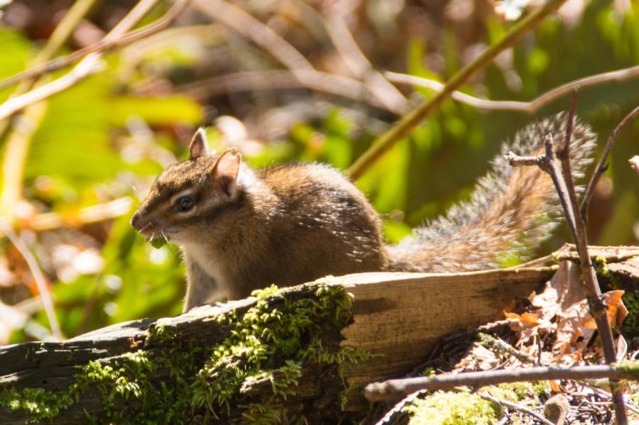 Chipmunk enjoying the sunshine