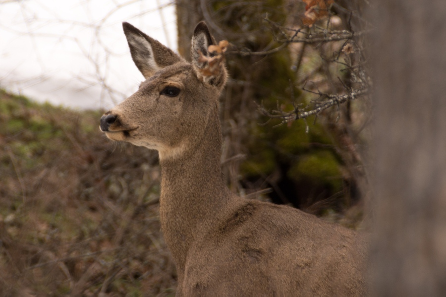 Blacktail Deer on the alert (hears me but doesn't see me)