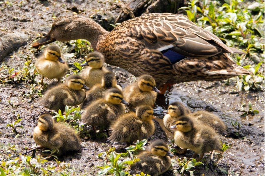 Is There Anything More Precious than Baby Ducks: Part I