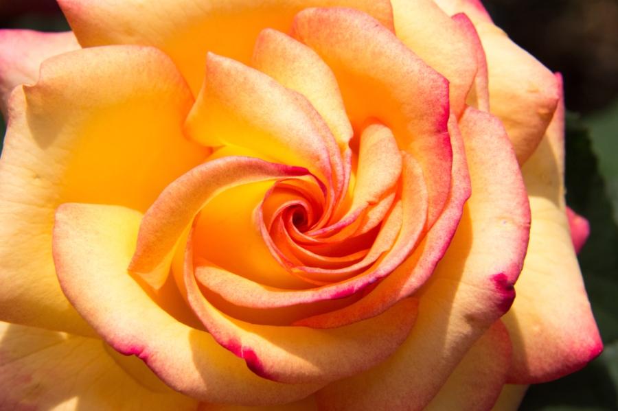 International Rose Test GardenCelebration