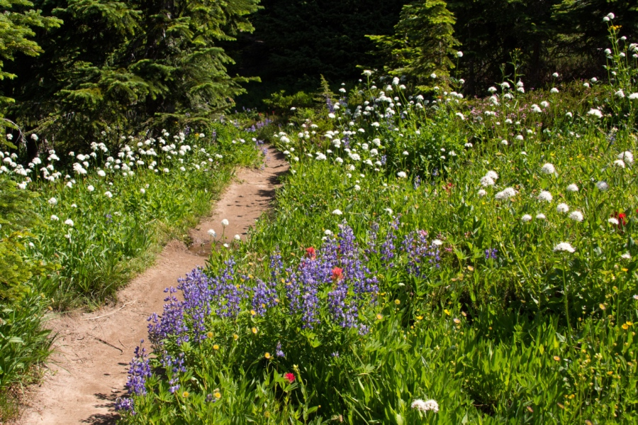An Alpine Wildflower Show on the North side of Mt. Hood