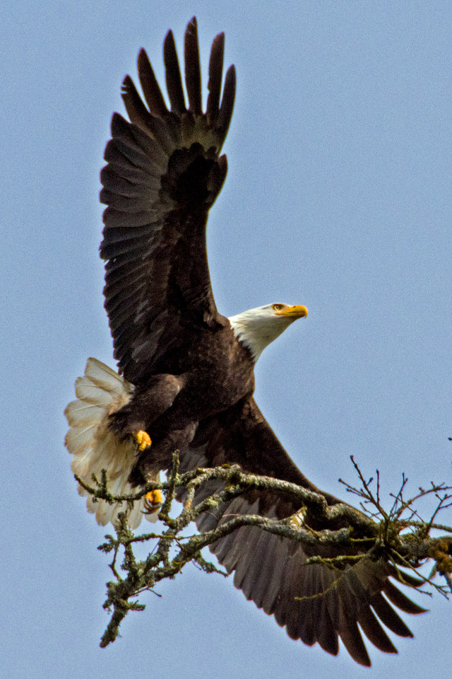 Oak Island Bald Eagles are on the Nest