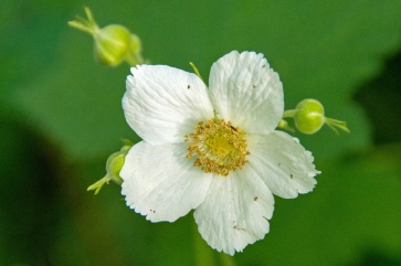 Thimbleberry
