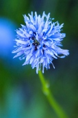 Blue-headed Gilia