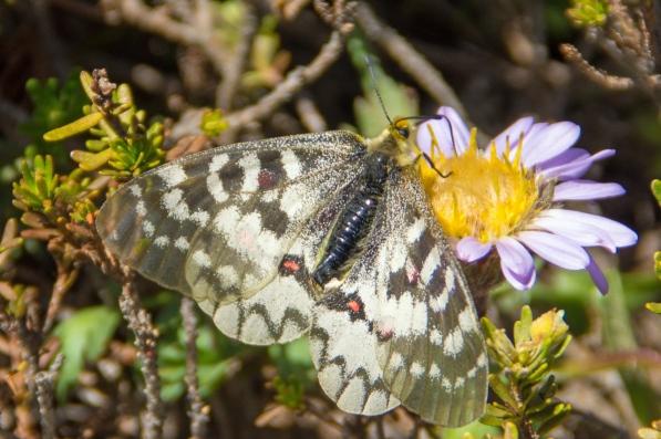 Clodius Parnassian Butterfly