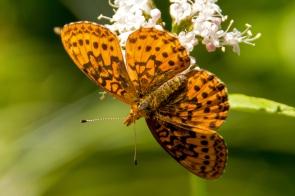 Western Meadow Fritillary Butterfly