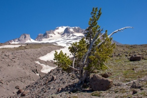 Whitebark Pine (highest growing tree on the mountain)