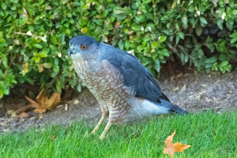 Bright-eyed Cooper's Hawk