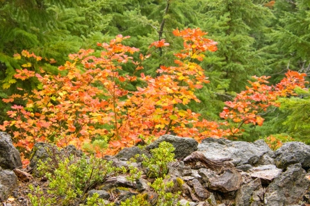 Colorful Vine Maple leaves