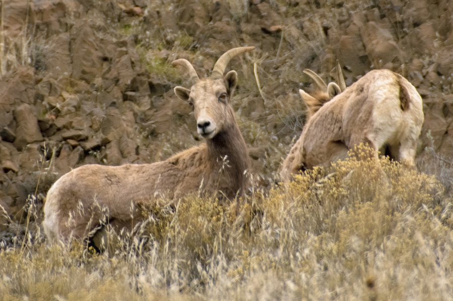 Rocky Mountain Bighorn Sheep in Cottonwood Canyon