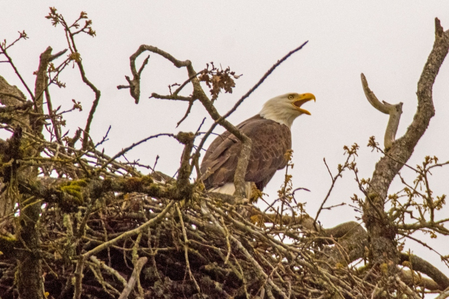 Oak Island Bald Eagles returning to the Nest