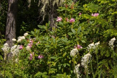 Western Rhododendron and Beargrass plumes
