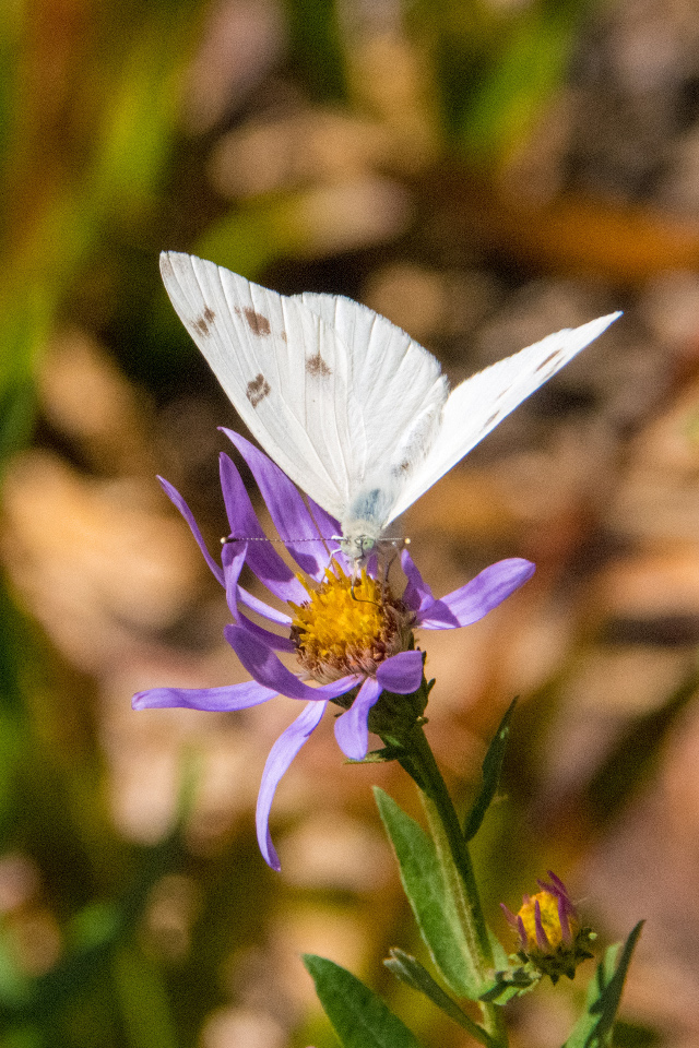 Hoorah! First Recorded Sighting of a Checkered White in Hood River County and a Golden-mantled too